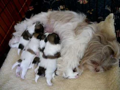 weeks  shih tzu puppies feeding  mum youtube
