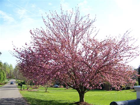 cherry tree ornamental srh trees