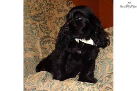 cocker spaniel puppies for sale in sc cocker spaniel puppy for sale near greenville