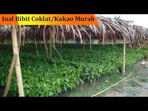 Bibit Kakao Siap Tanam wa 0852 5140 5109 tsel umur bibit kakao siap tanam