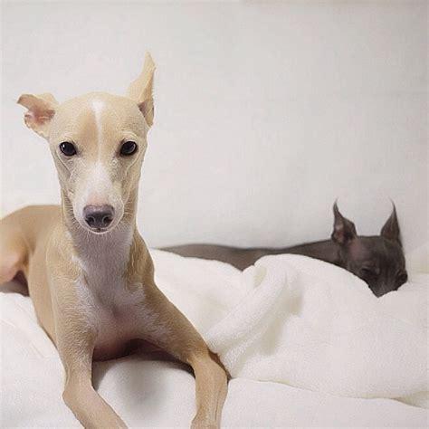 italian greyhound colors italian greyhound galgo italiano italian greyhound
