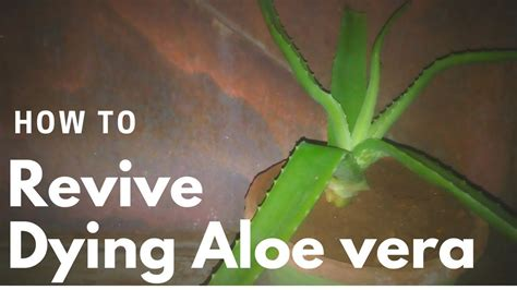how to revive a plant how to revive a dying aloe vera plant youtube