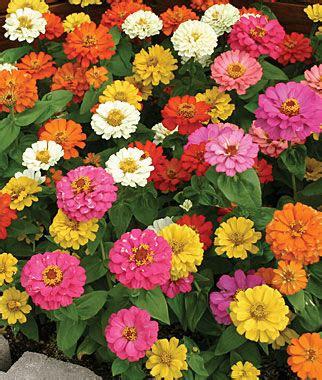 Benihbibitbijiseed Zinnia Early Mixed thumbelina mix zinnia seeds and plants annual flower garden at burpee