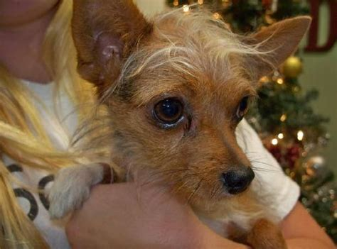 yorkie and chihuahua mix price mimi the chihuahua yorkie mix s web page