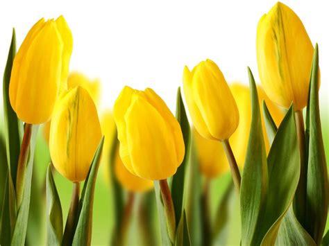 cuadros tulipanes cuadro en lienzo hermosos tulipanes amarillos pixers