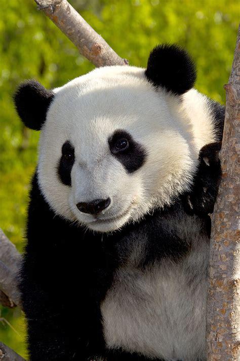 Panda With by Panda San Diego Zoo Animals Plants