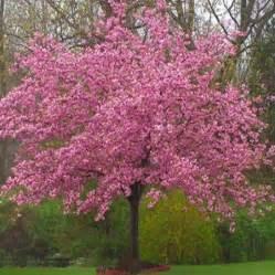 kwanzan cherry tree japanese kwanzan flowering cherry