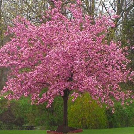 kwanzan flowering cherry tree yahoo search results