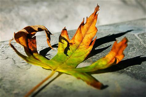 le foglie morte testo le foglie morte died leafs les feuilles mortes