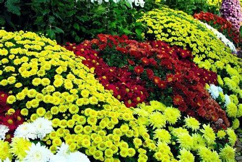 Pupuk Untuk Bunga Seruni cara merawat bunga krisan bibitbunga