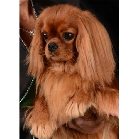 puppy rescue ma cavalier king charles spaniel breeder puppies rescue breeds picture
