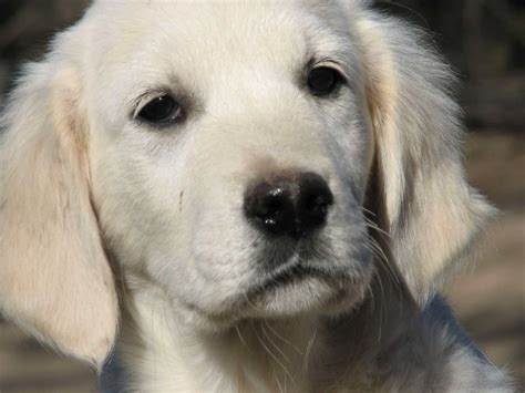 dallas golden retriever puppies golden retriever puppies for sale near dallas