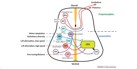 central pattern generator spinal neurons development and plasticity of commissural circuits from