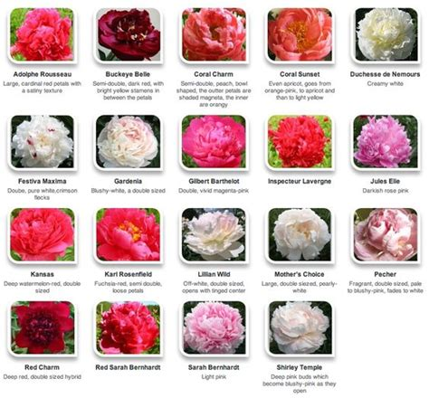 peony color peonies flower names and flower on