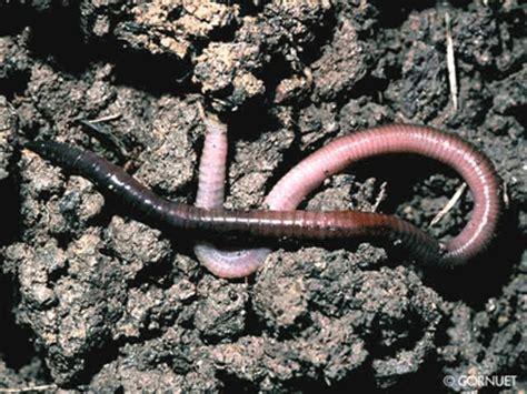 Cacing Ternak peluang usaha budidaya cacing tanah