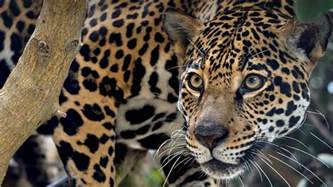 What Do Jaguars Symbolize The Meaning And Symbolism Of The Word 171 Jaguar 187