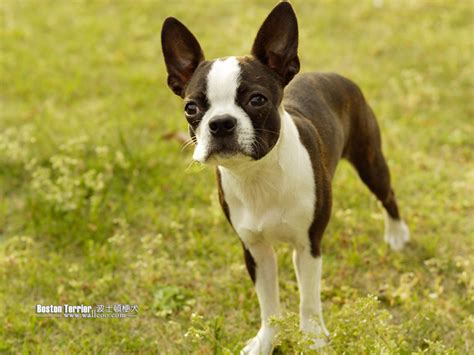 puppy boston terrier the in world boston terrier dogs