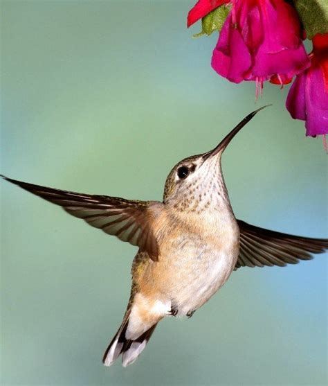 10 animals that pollinate flowers hummingbirds