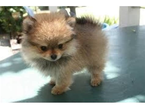 pomeranian puppies ct lovely pomeranian puppies for sale animals bolton connecticut announcement 37293