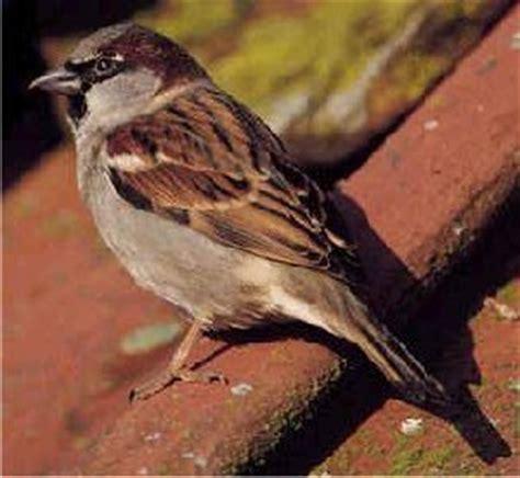 passero alimentazione allevamento fringillidi e pappagallini allevare e ama