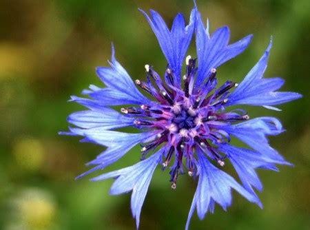 fiori azzurri nomi dal fiordaliso al myosotis i fiori azzurri pollicegreen