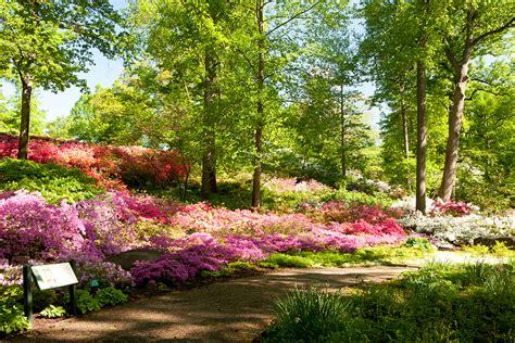 patio rhododendron azalea garden archives plant talk