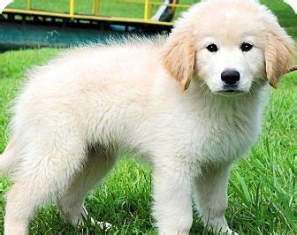 puppy golden retriever for adoption golden retriever puppies for adoption 15 questions to ask