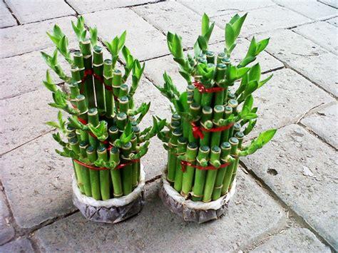 jual bibit tanaman hias bambu hoki rejeki lucky bamboo