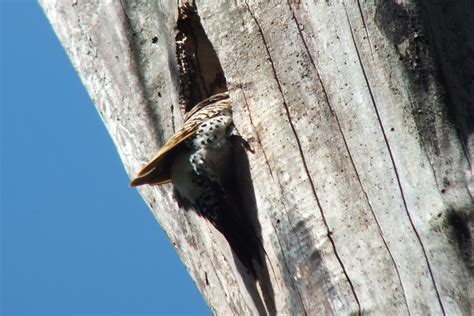 ant s hill ant s nest photo bob or marley in the 4x4 northern flickers in whitby s thickson s woods