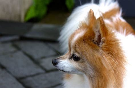 how much do pomeranian puppies cost how much does a pomeranian cost your pet with a bone