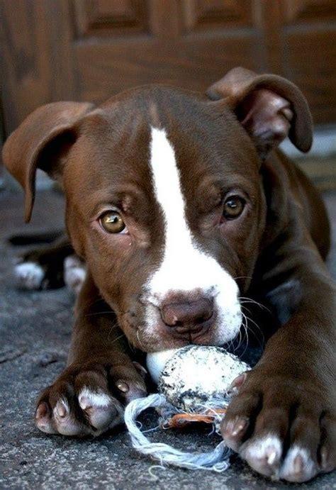 chocolate pitbull puppies chocolate pitbull puppy pitbull s beautiful and