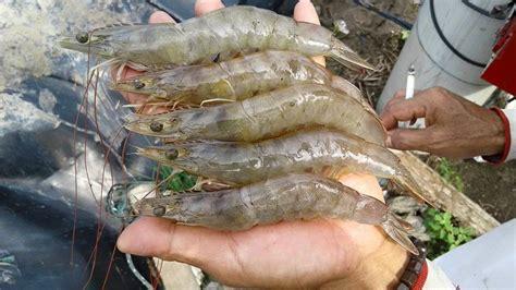 Bibit Ikan Gurame Yg Bagus pengusaha budidaya udang vannamei pet service 3 photos