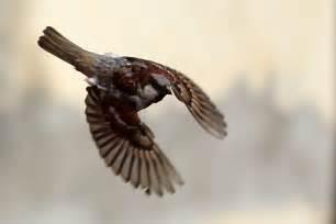 File sparrow wings jpg wikimedia commons