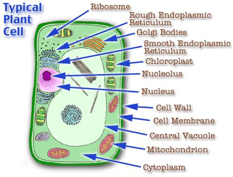 plant cell diagram labeled plant cell model cell model diagram project parts