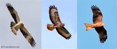 aves de espaa y c 243 mo identificar 9 aves rapaces de espa 241 a f 225 cilmente