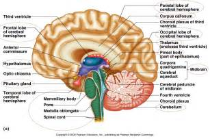 all parts of inside brain unlabeled diagram brain parts to
