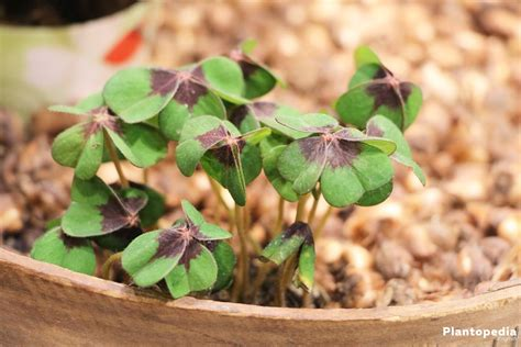 Growing Shamrock plant, Oxalis tetraphylla Bulbs   How to