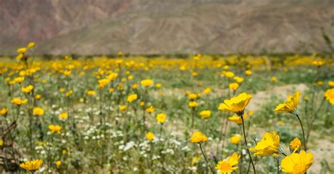 wildflowers anza borrego hurry to see anza borrego wildflowers before they re gone