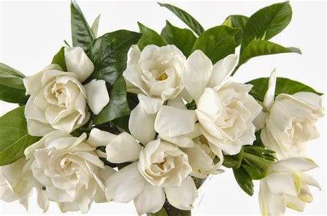 gardenia flower flowers gardenia flower