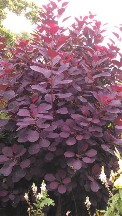 purple leaves pink flowers shrub 25 best purple flowering bush ideas on purple