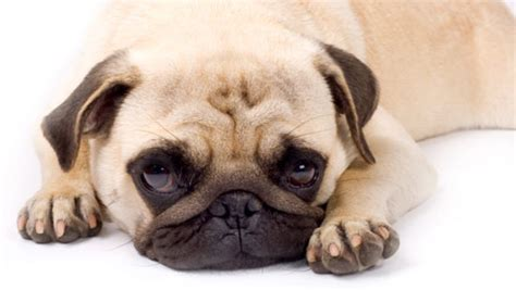 what do pugs do what does a pug look like images frompo 1