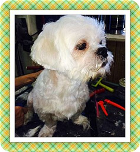 shih tzu rescue tulsa tulsa ok bichon frise shih tzu mix meet kipper ms a for adoption