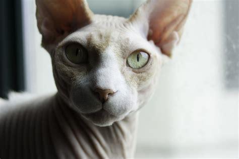 hairless cat meme sphynx cat meme sphynx cat computer wallpapers desktop