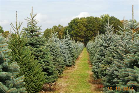 manners christmas tree farm