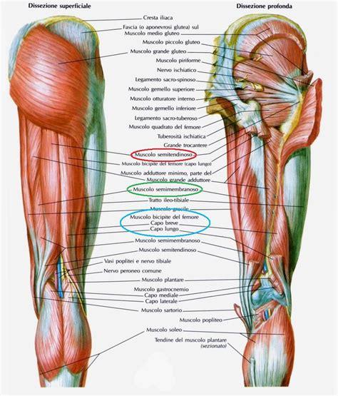 dolore parte interna ginocchio anatomia muscoli della coscia terza parte santucci