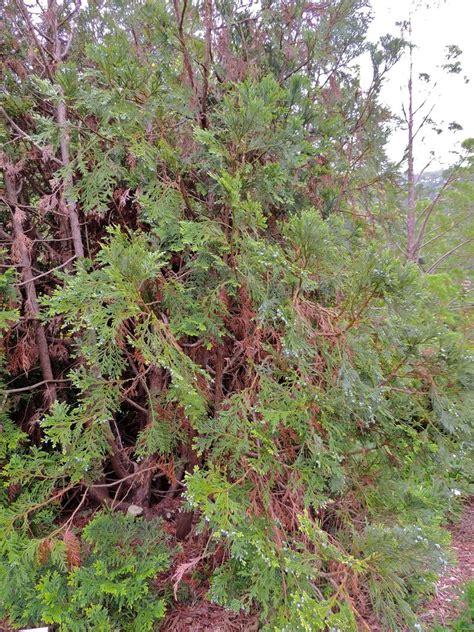 Botanical Gardens Northern California Plantfiles Pictures Hiba Arborvitae Japanese Hiba Cypress Thujopsis Dolabrata By Rosinabloom
