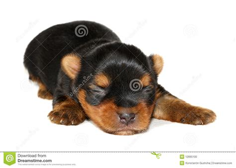 newborn yorkie puppies newborn yorkie stock photo image 12665100