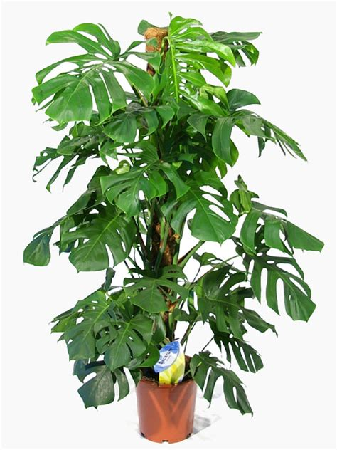 no sun plants indoor indoor plants no sun monstera swiss cheese plant indoor