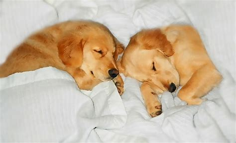 dogs like golden retrievers golden retriever puppies sleeping by jennie schell
