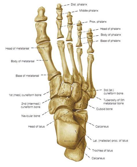 diagram of the foot bones bones of the foot bones of the leg and the foot